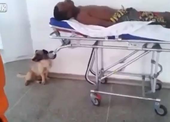Wierny pies biegnie za karetką