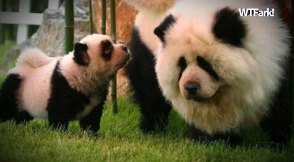 psy panda 7