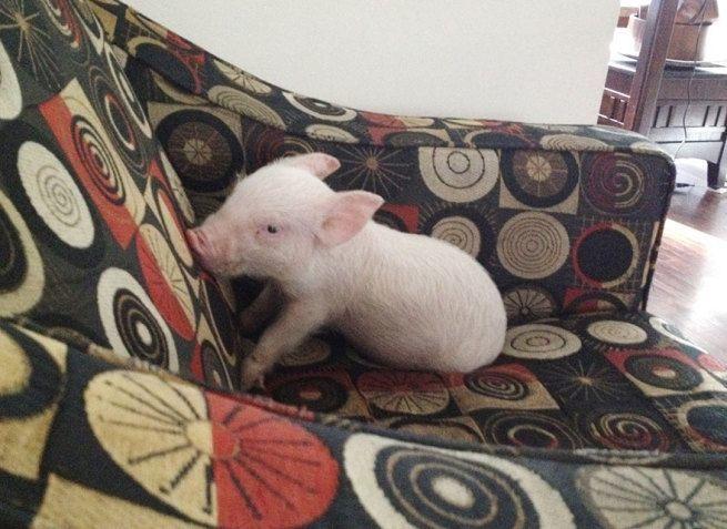 zaadaptowana swinka1