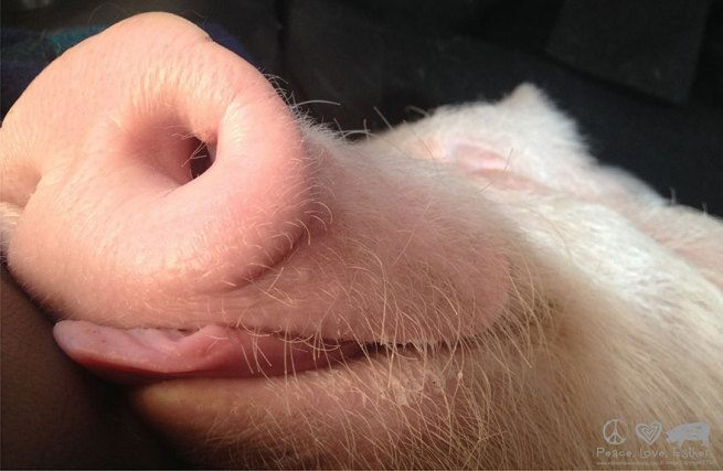 zaadaptowana swinka4