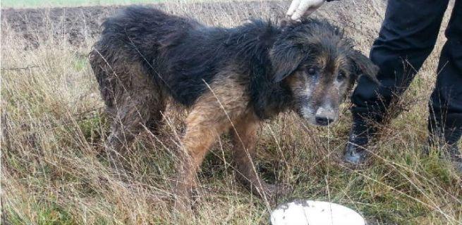 Skrajnie wyczerpany pies znaleziony na polu 2