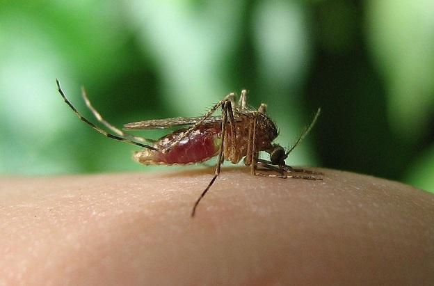 rosliny na komary