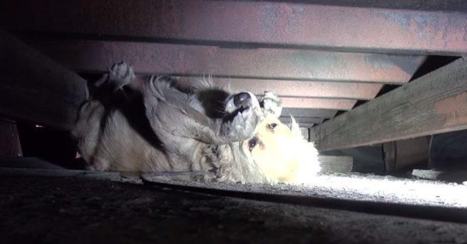Przepiękny Golden Retriever wpadł w panikę, kiedy próbowano go uratować