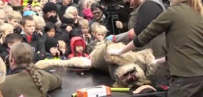 Dokonali sekcji zwłok lwa na oczach tłumu dzieci