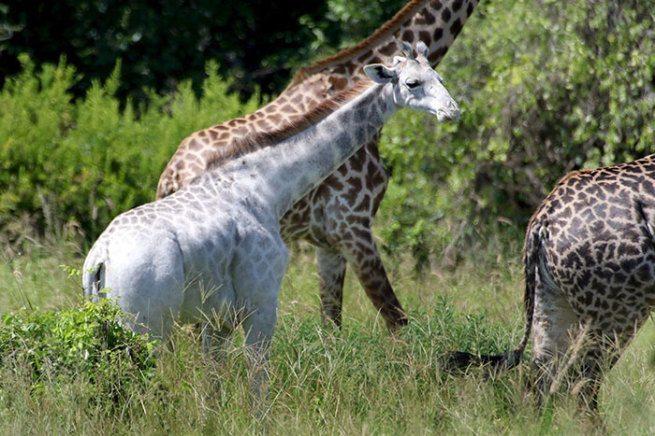 żyrafa-albinos