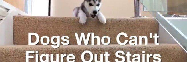 ompilacja psów, które boją się schodzić po schodach