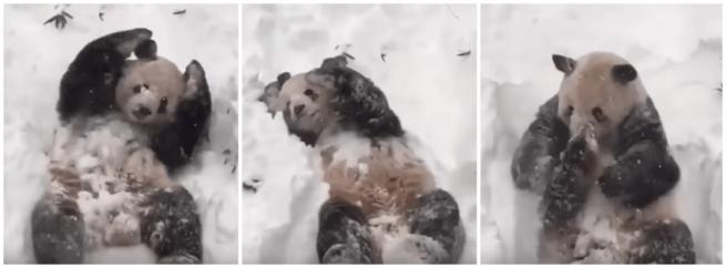 panda bawi się w śniegu